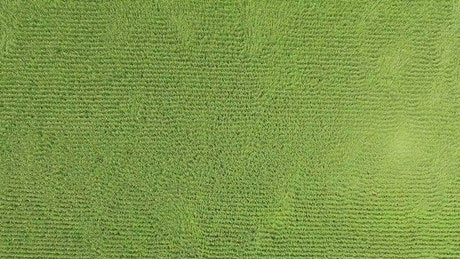 Corn fields moved by the wind, top aerial shot