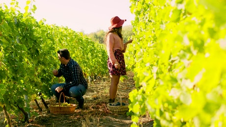 Couple harvesting grapes in a vineyard
