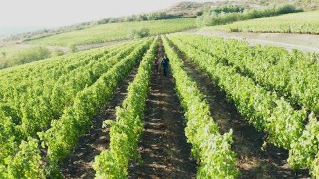 Couple walking through a vineyard field