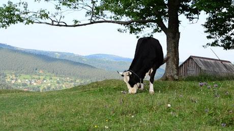 Cow grazing near a barn