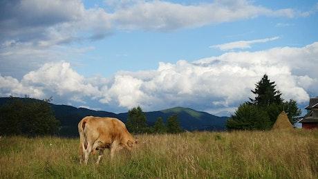 Cow pasture on a mountain landscape