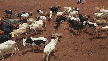 Cows feeding in a dusty field