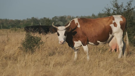 Cows feeding in the countryside