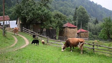 Cows in a mountain farm