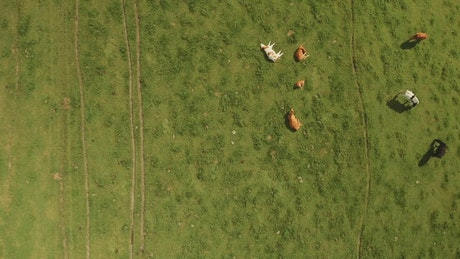 Cows resting in a field