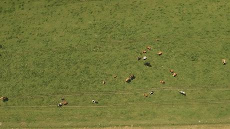 Cows roaming around a farm