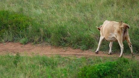 Cows walking trough a road