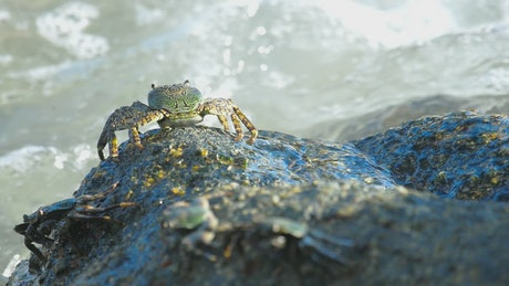 Crab standing on a rock with crashing waves