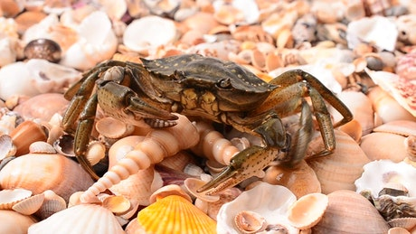 Crab walking over shells