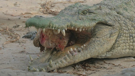Crocodile holding meat