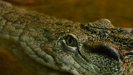 Crocodile in captivity, close up