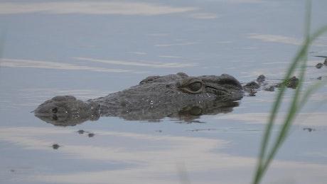 Crocodile lurking in a lake