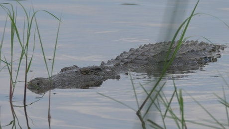 Crocodile lurking in the lake