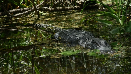 Crocodile perched in a swamp