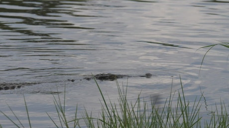 Crocodile swimming in the lake