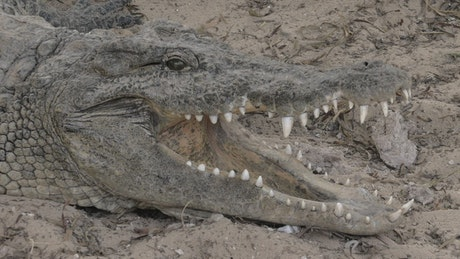 Crocodile with an open jaw