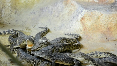 Crocodiles fighting for food