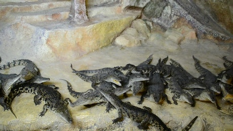 Crocodiles in a large group