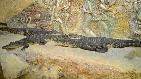 Crocodiles in a Zoo environment