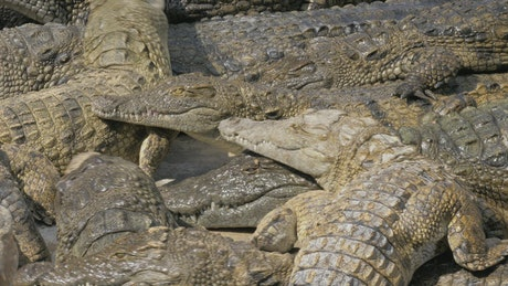 Crocodiles waiting for food