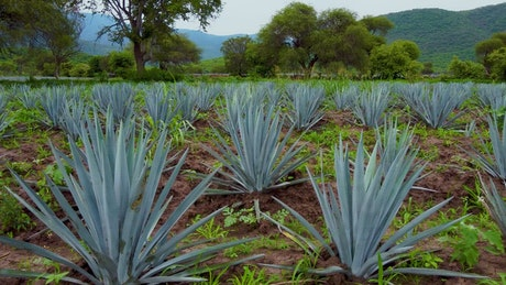 Crop field covered by maguey leaves