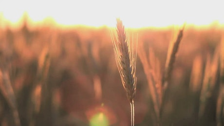 Crops in the breeze at sunset