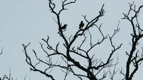 Crows against a clear sky