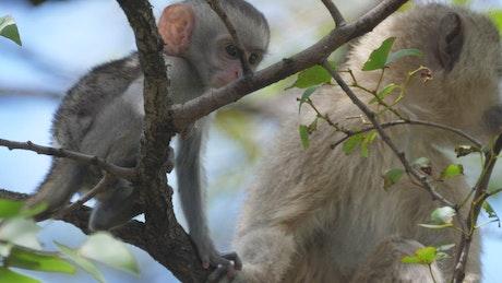 Cute baby monkey grabs a leaf
