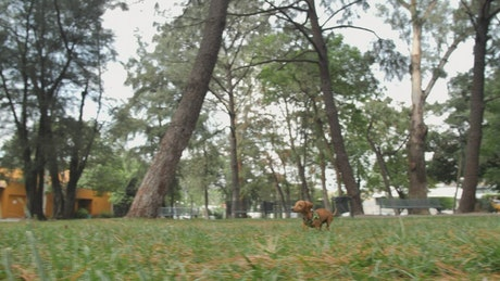 Dachshund dog running through a park to reach its owner