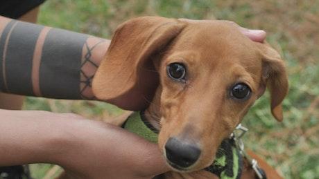 Dachshund dog while hands caress it