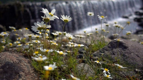Daisy flowers near a big waterfall