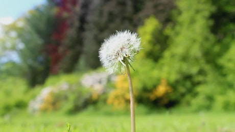 Dandelion in a forest, shallow focus shot