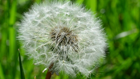 Dandelion in nature seen up close