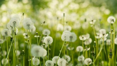 Dandelions in spring
