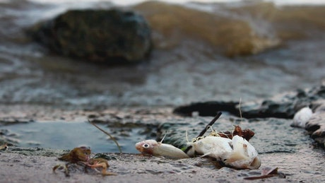 Dead fish on polluted shore