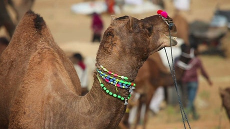 Decorated camel chewing