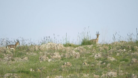 Deer family walking in the mountain