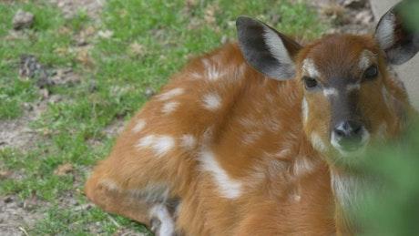 Deer lying in the ground