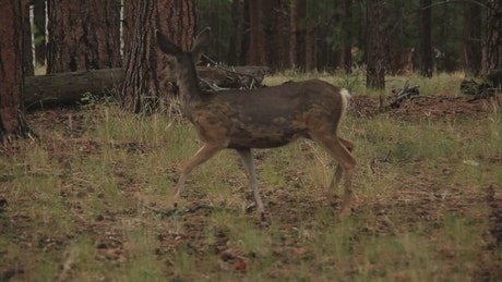 Deer walking through dry woodland