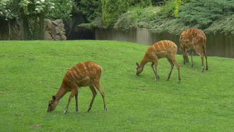 Deers grazing in the grass