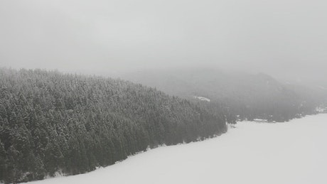 Dense forest pine during the winter
