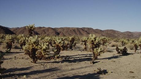 Desert full of cacti