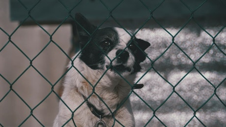Dog barking behind a wire fence