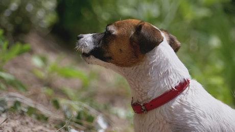 Dog barking in nature