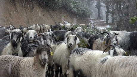 Dog in the middle of a goat herd