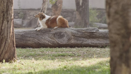 Dog jumping off a log