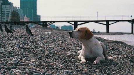 Dog laying on a stone beach