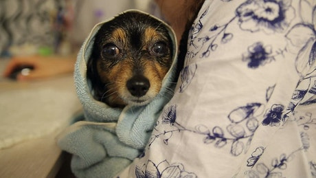 Dog relaxing after a bath