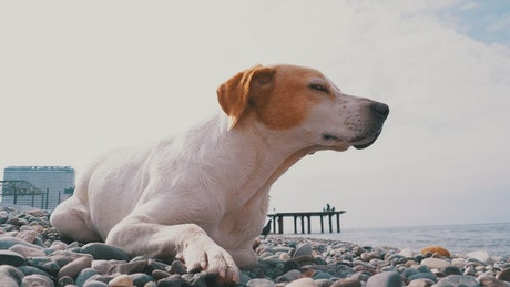 Dog resting on the rocks in the beach