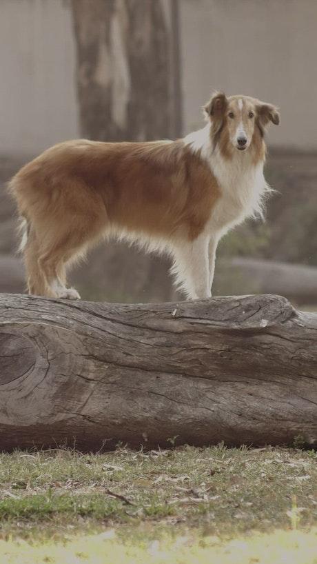 Dog standing on a log